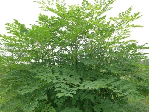 Những tác dụng chữa bệnh của cây chùm ngây bạn nên biết - Ảnh 1