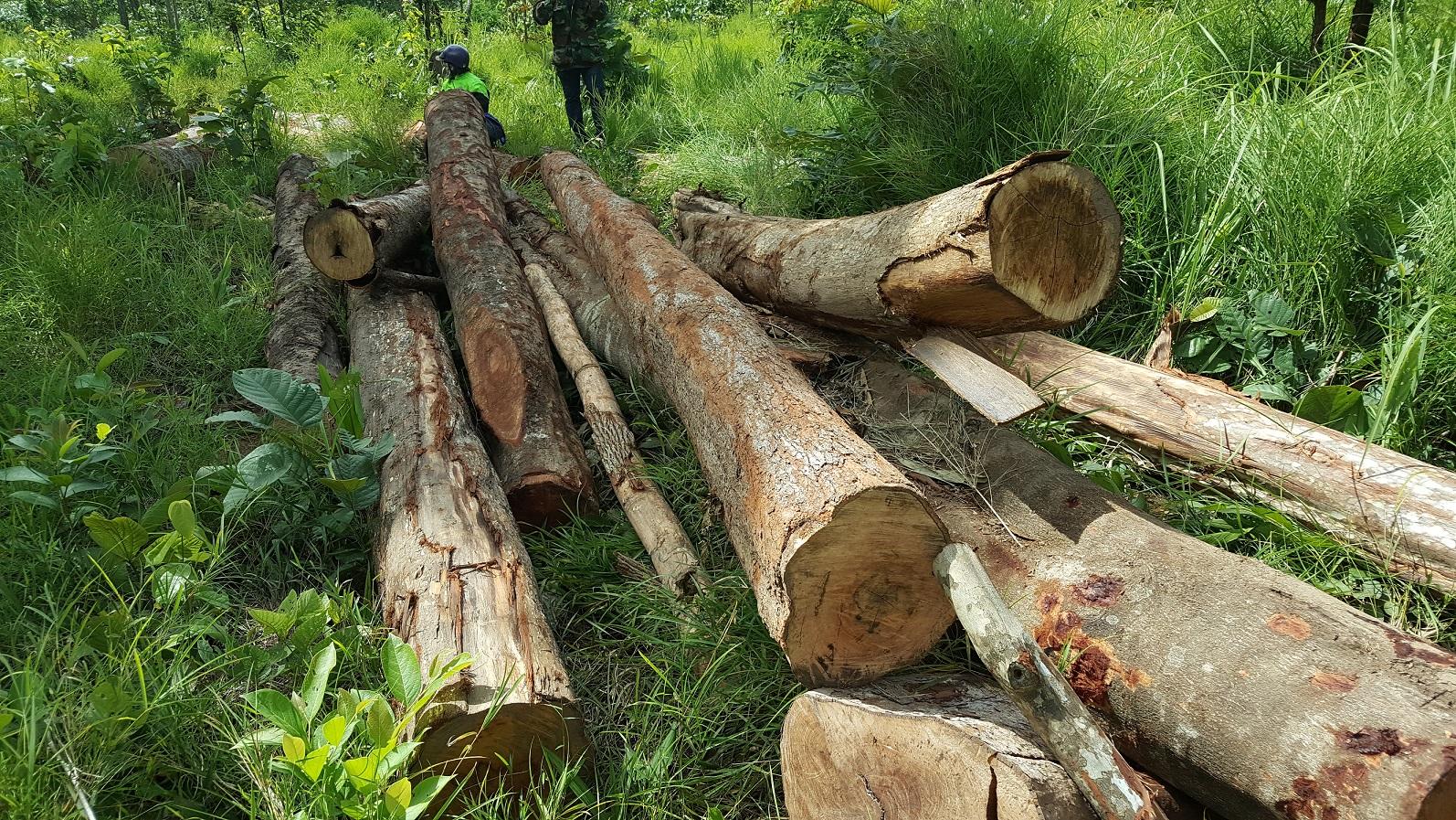 Xót xa chứng kiến rừng phòng hộ Buôn Đôn bị tàn phá  - Ảnh 1