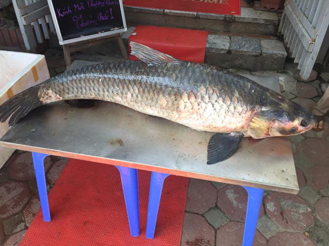 """Bắt được cá trắm """"khủng"""" nặng 42 kg trên hồ Thác Bà - Ảnh 3"""