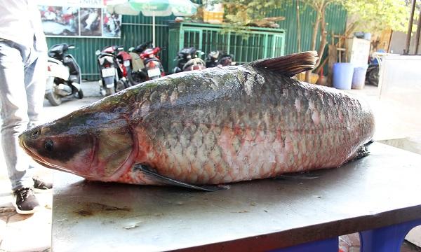 """Bắt được cá trắm """"khủng"""" nặng 42 kg trên hồ Thác Bà - Ảnh 1"""