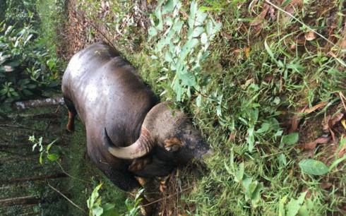 Bò tót 700 kg chết trong Khu bảo tồn Thiên nhiên văn hóa Đồng Nai - Ảnh 1
