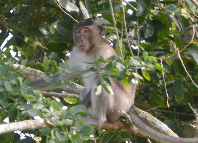 Đàn khỉ hung dữ có bờm giống sư tử cắn người dân ở Sóc Trăng - Ảnh 2