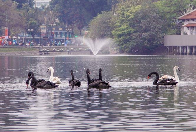 """Vì sao 6 cặp thiên nga ở hồ Gươm """"bay"""" sang hồ Thiền Quang? - Ảnh 1"""
