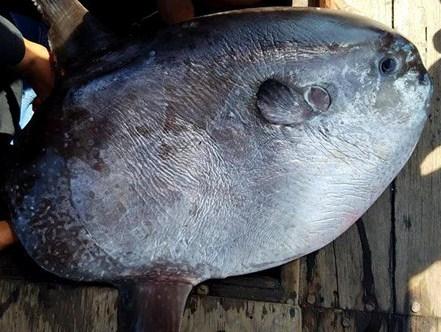 """Ngư dân câu được cá Mặt trăng """"khủng"""" 32 kg - Ảnh 1"""