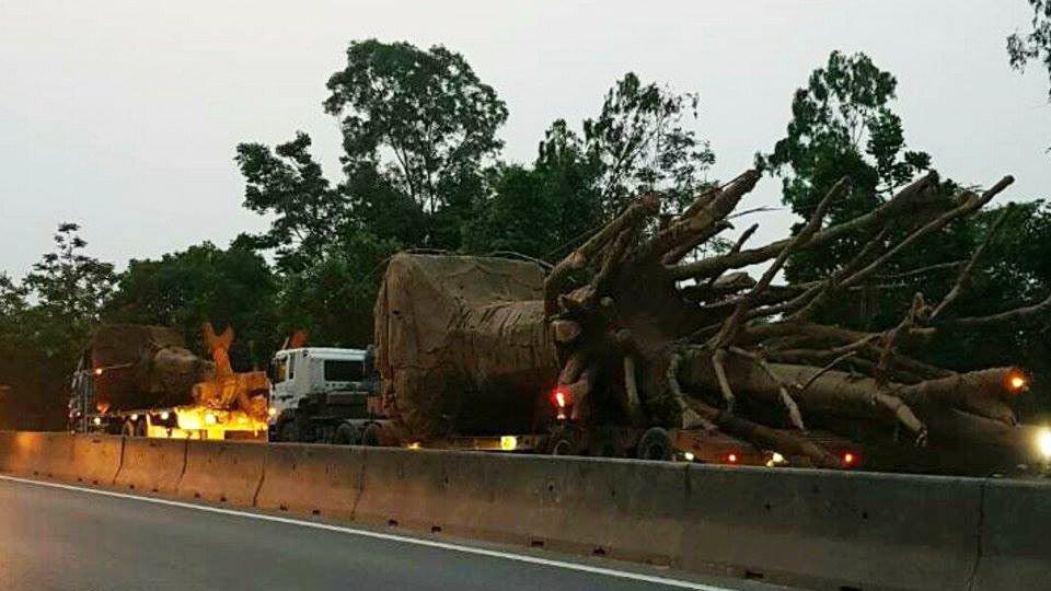 """Phó Thủ tướng yêu cầu làm rõ trách nhiệm vụ vận chuyển 3 cây đa """"khủng"""" - Ảnh 1"""
