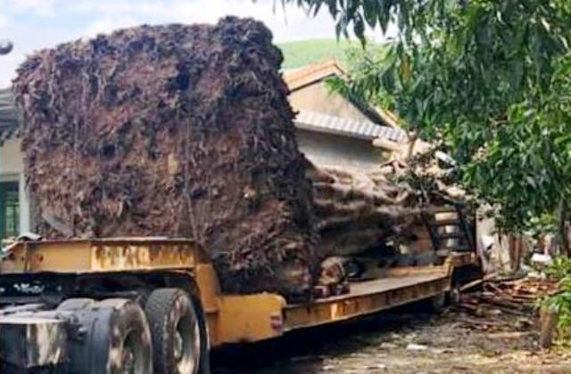 """CSGT Thừa Thiên- Huế chặn xe đầu kéo chở """"quái thú"""" từ Đắk Lắk ra chùa ở Ninh Bình - Ảnh 1"""