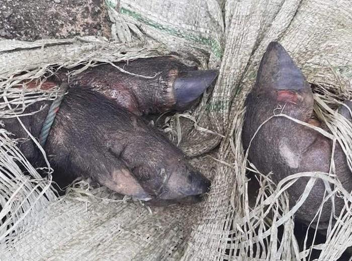 Phát hiện xe khách chở cả đàn lợn lở mồm long móng - Ảnh 1