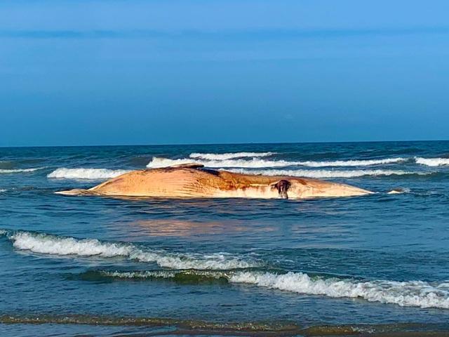 """Xác cá voi """"khủng"""" nặng khoảng 10 tấn dạt vào bờ biển Hà Tĩnh - Ảnh 1"""