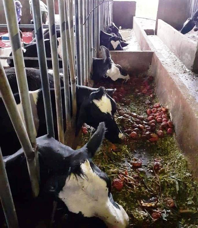 10 con bò sữa bị sét đánh chết ngay tại máng ăn - Ảnh 1