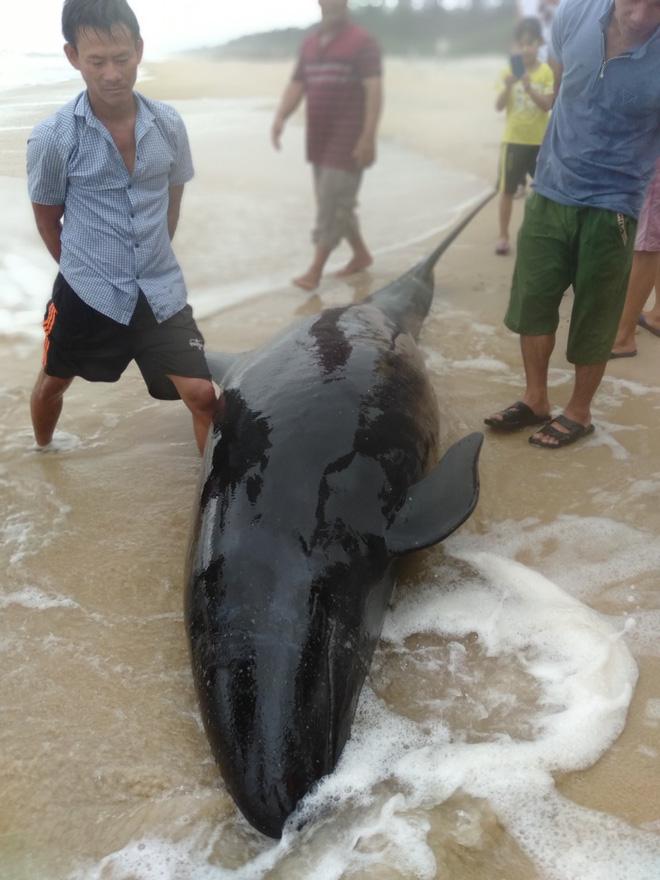 Ngư dân hò nhau đưa cá heo nặng 300 kg bị mắc cạn trở lại biển - Ảnh 1