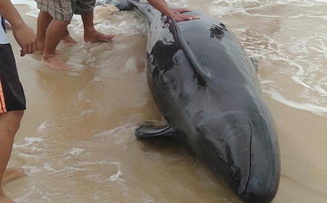 Ngư dân hò nhau đưa cá heo nặng 300 kg bị mắc cạn trở lại biển - Ảnh 2
