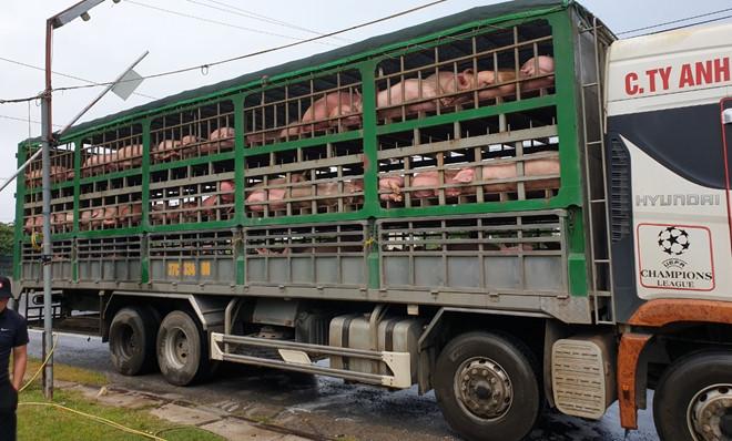 Phát hiện 2 ô tô chở 342 con lợn không rõ nguồn gốc, trị giá gần 2 tỷ đồng - Ảnh 1
