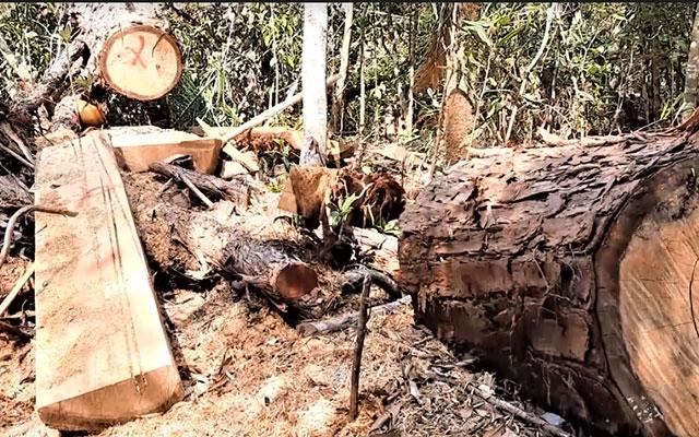 Đắk Lắk chỉ đạo điều tra, xử lý tình trạng phá rừng pơmu - Ảnh 1