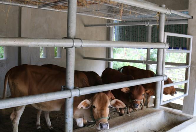 Choáng ngợp những chuồng bò khang trang có tổng trị giá hơn chục tỷ đồng ở Nghệ An - Ảnh 5