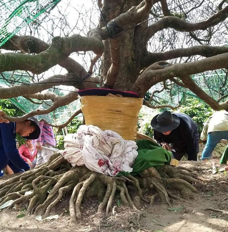 """Đại gia chi 3,8 tỷ đồng mua cây mai vàng """"siêu khủng"""" ở làng mai Phước Định là ai? - Ảnh 2"""