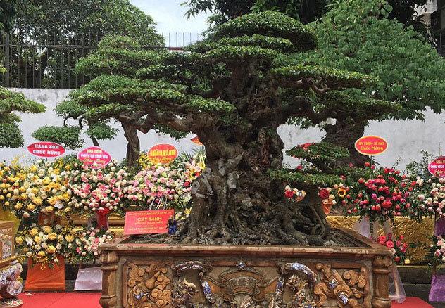 """Chiêm ngưỡng cây sanh cổ """"Tiên lão giáng trần"""" được đại gia Phú Thọ chi 28 tỷ mua về - Ảnh 2"""