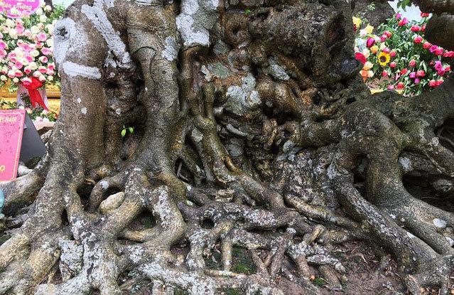 """Chiêm ngưỡng cây sanh cổ """"Tiên lão giáng trần"""" được đại gia Phú Thọ chi 28 tỷ mua về - Ảnh 3"""