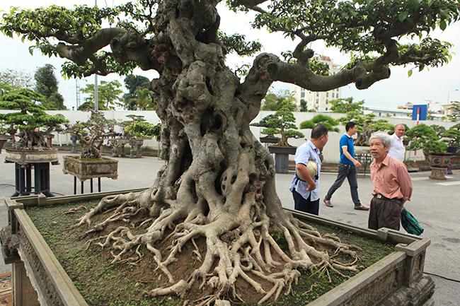 """Chiêm ngưỡng cây sanh cổ """"Tiên lão giáng trần"""" được đại gia Phú Thọ chi 28 tỷ mua về - Ảnh 9"""
