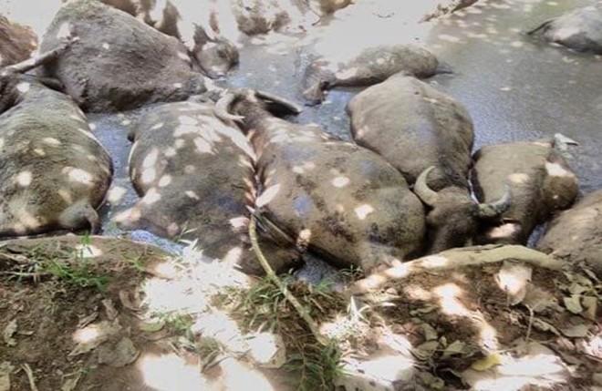 14 con trâu trị giá hàng trăm triệu đồng bỗng lăn đùng ra chết, nghi bị kẻ gian đầu độc - Ảnh 2