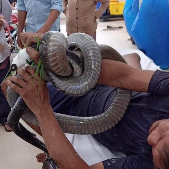 """Bị rắn hổ mang chúa dài 3m cắn, người đàn ông quấn """"thủ phạm"""" quanh khuỷu tay tới bệnh viện - Ảnh 1"""