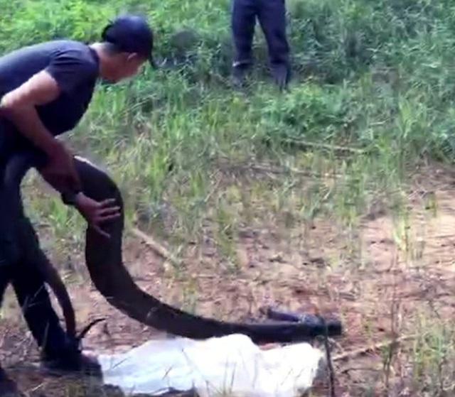 """Vụ rắn hổ mang chúa """"khủng"""" nặng 21kg ở Đồng Nai: Thanh niên được thuê vận chuyển với giá 200.000 đồng - Ảnh 1"""
