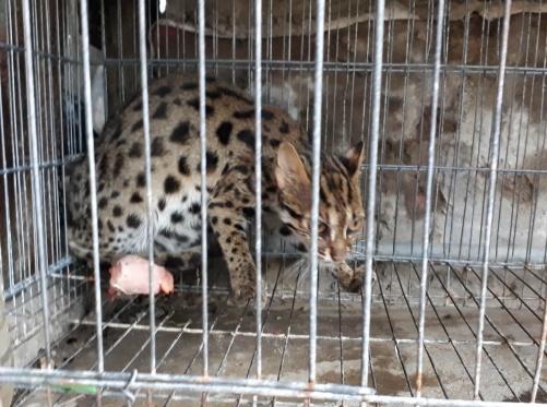 Bẫy chồn, dính cá thể mèo rừng quý hiếm - Ảnh 1