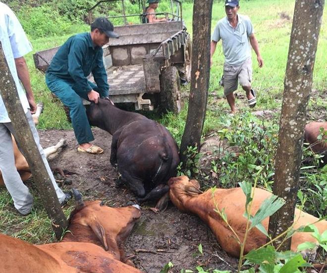 5 con bò bị sét đánh chết cùng lúc trên cánh đồng - Ảnh 1