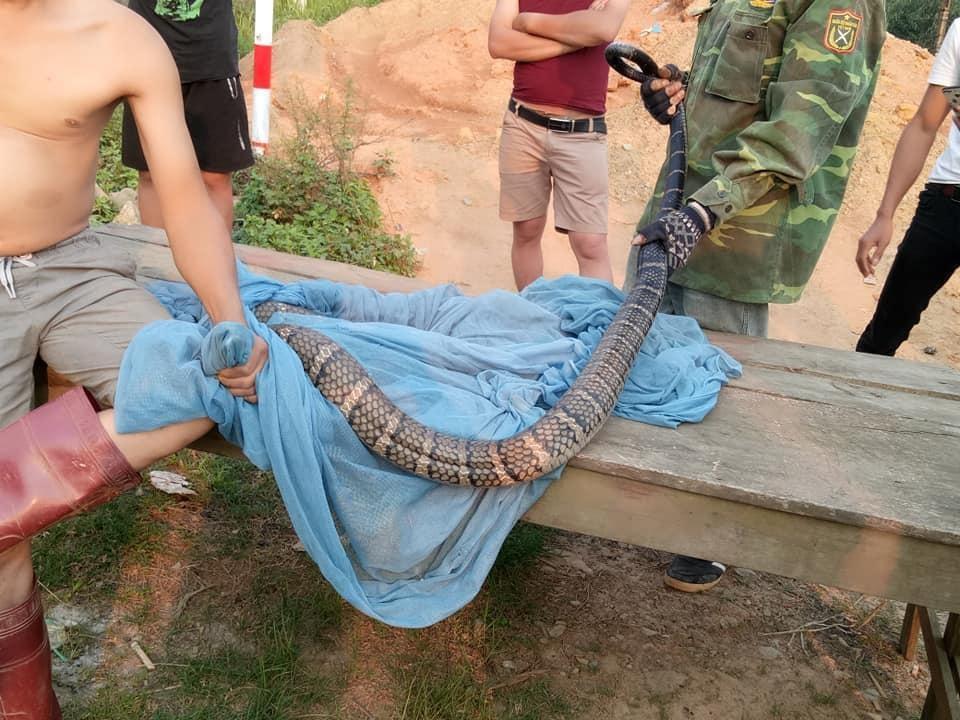 """Xác minh thông tin người đàn ông tay không bắt rắn hổ mang """"khủng"""" gần 10kg, dài 2 mét ở Sơn La - Ảnh 1"""