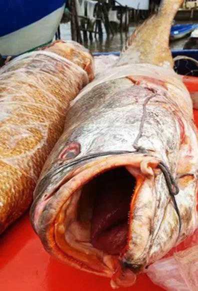 """Nhiều người trả giá 70 triệu cặp cá sủ vàng """"khủng"""", ngư dân chưa chịu bán - Ảnh 1"""