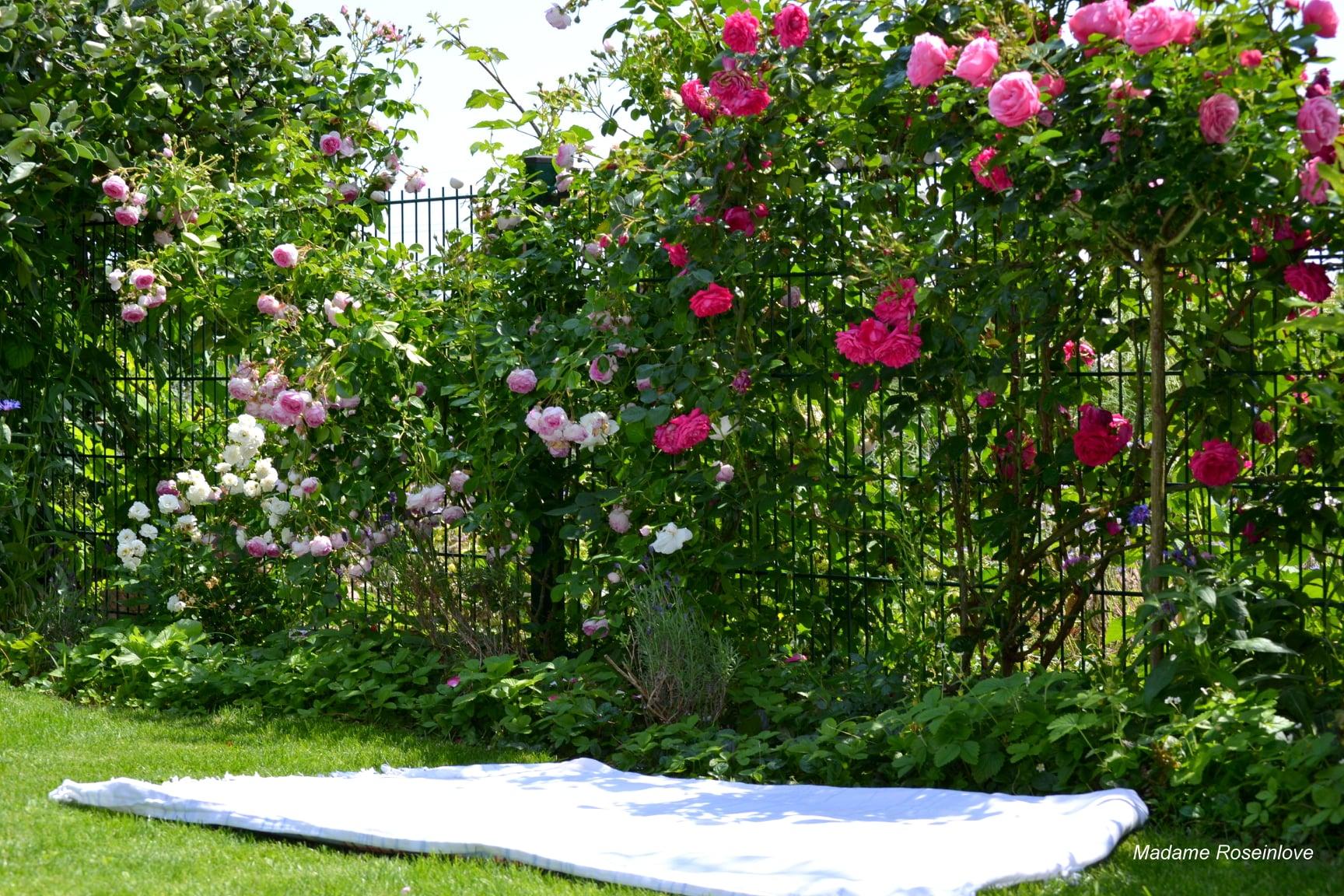 """""""Lạc lối"""" giữa vườn hồng đẹp như tranh vẽ của cô giáo người Việt tại Đức - Ảnh 1"""