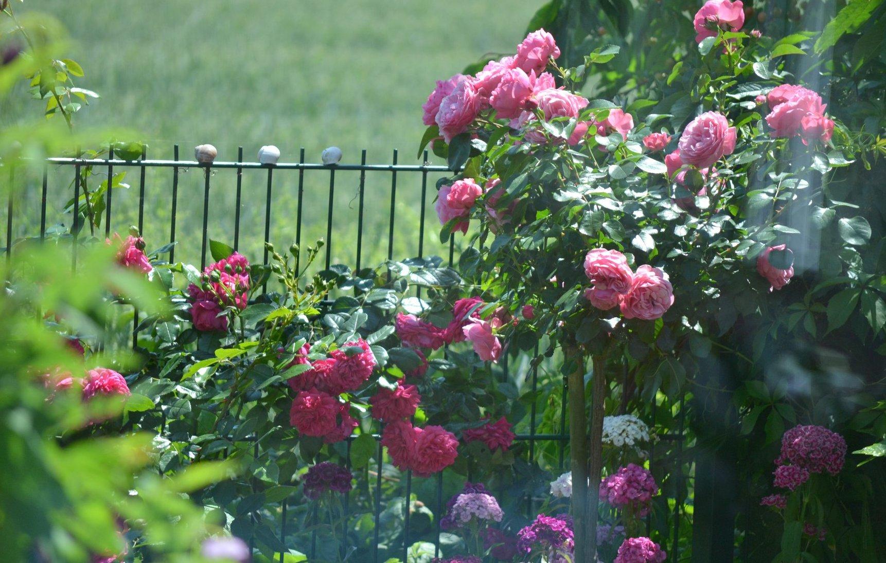 """""""Lạc lối"""" giữa vườn hồng đẹp như tranh vẽ của cô giáo người Việt tại Đức - Ảnh 3"""