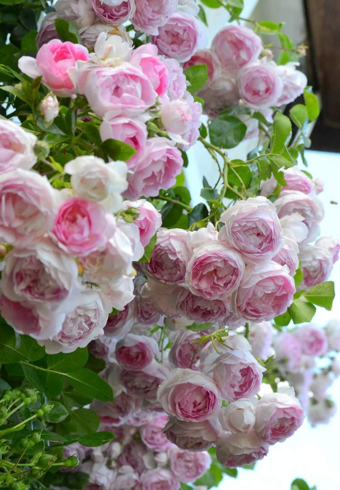 """""""Lạc lối"""" giữa vườn hồng đẹp như tranh vẽ của cô giáo người Việt tại Đức - Ảnh 4"""