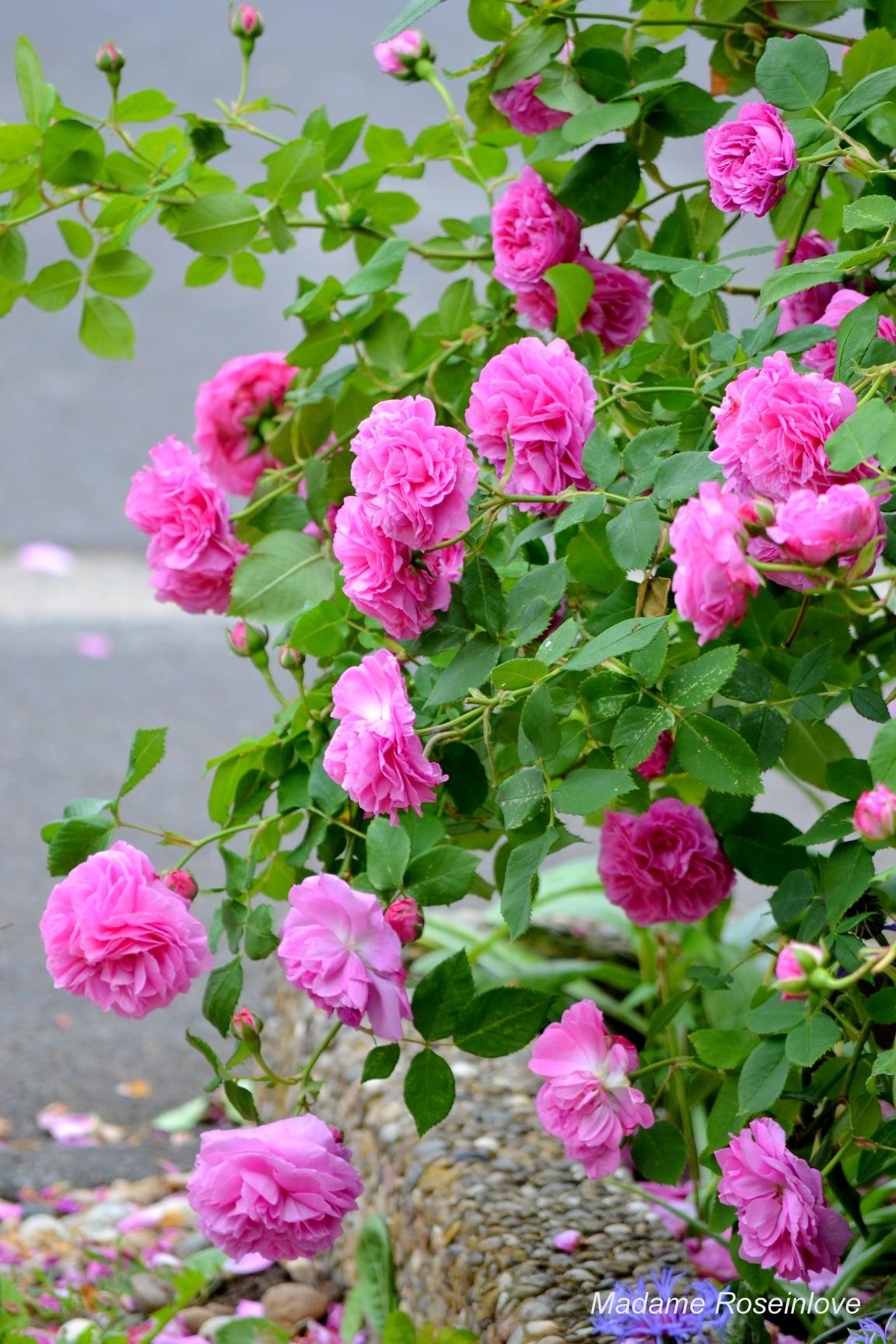 """""""Lạc lối"""" giữa vườn hồng đẹp như tranh vẽ của cô giáo người Việt tại Đức - Ảnh 7"""