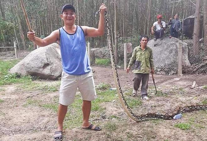 """Bắt được trăn """"khủng"""" dài 5 mét, nặng hơn 20kg ở Quảng Nam - Ảnh 1"""