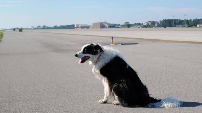 """Chó """"đột nhập"""" sân bay ở Thanh Hóa, máy bay phải chờ hạ cánh - Ảnh 1"""