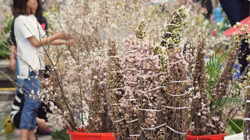 Du khách háo hức đón Lễ hội hoa anh đào ở Hà Nội - Ảnh 9