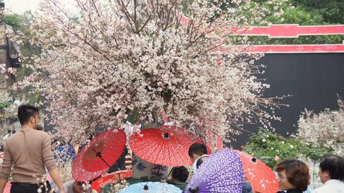 Du khách háo hức đón Lễ hội hoa anh đào ở Hà Nội - Ảnh 5