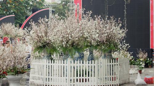 Du khách háo hức đón Lễ hội hoa anh đào ở Hà Nội - Ảnh 2