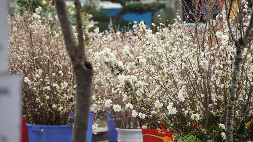 Du khách háo hức đón Lễ hội hoa anh đào ở Hà Nội - Ảnh 6