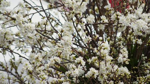 Du khách háo hức đón Lễ hội hoa anh đào ở Hà Nội - Ảnh 7
