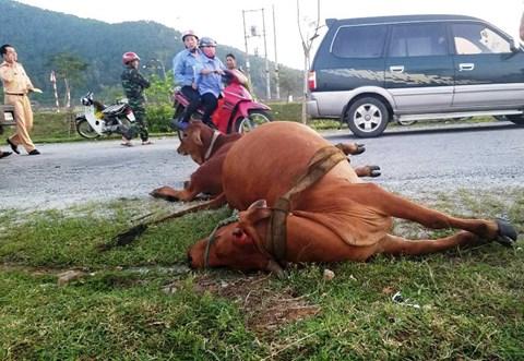 Tông chết bò đang gặm cỏ bên đường, tài xế xe tải phải đền gần 40 triệu - Ảnh 1