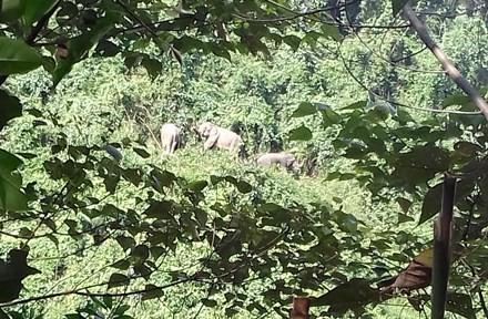 Quảng Nam: Đàn voi rừng liên tục kéo về gần khu dân cư - Ảnh 1