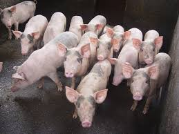 """Thủ tướng chỉ đạo tăng cường thu mua, """"giải cứu"""" thịt lợn - Ảnh 1"""