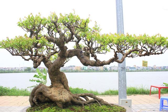 """Chiêm ngưỡng những """"siêu cây cảnh"""" có giá hàng trăm tỷ đồng - Ảnh 10"""
