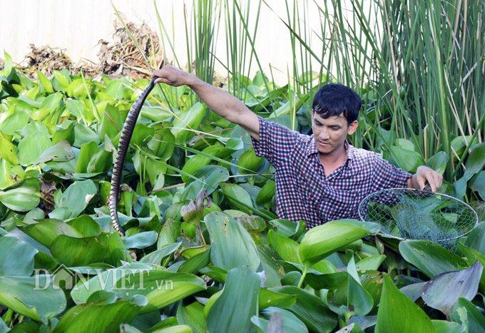 Người nuôi hàng trăm con rắn dưới đám lục bình, kẻ cho bò lổm ngổm trên sàn nhà - Ảnh 2
