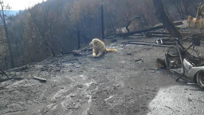 Sau thảm kịch cháy rừng ở Mỹ, chú chó vẫn tìm đường về nhà và nằm đợi chủ - Ảnh 1