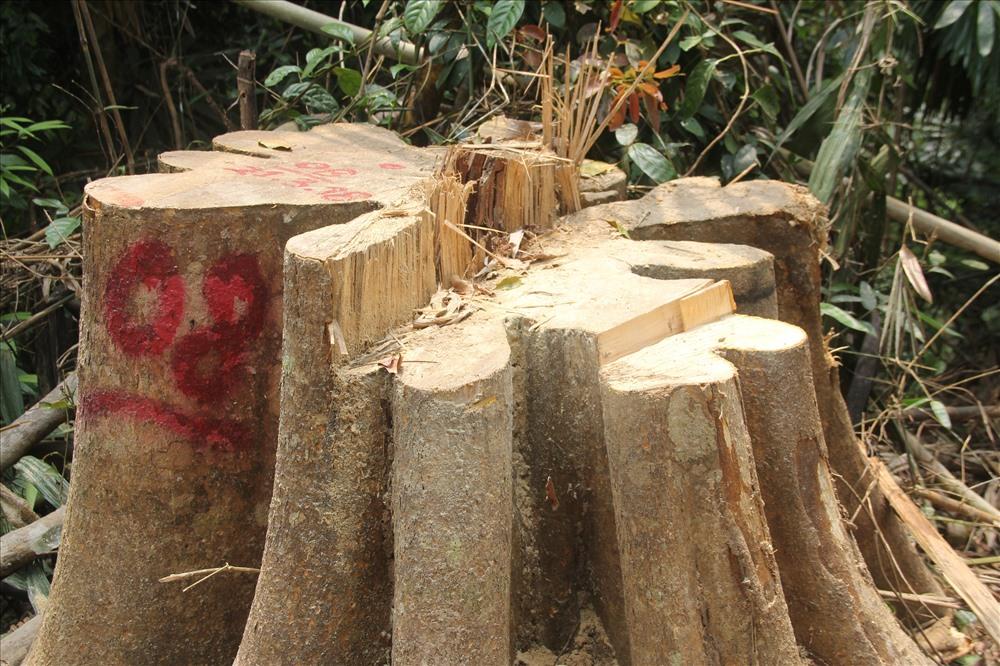 Phó Chủ tịch tỉnh Quảng Nam sẽ đích thân kiểm tra hiện trường rừng phòng hộ bị chặt phá - Ảnh 1