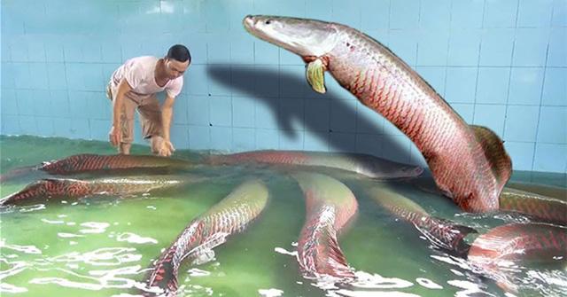 """Thú chơi ngốn """"tiền tấn"""" của đại gia Việt: Rước thủy quái lớn nhất thế giới về thả ao chơi  - Ảnh 1"""