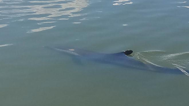 Video: Cá heo 50 kg bị thương bơi lạc vào tận sông ở Hội An - Ảnh 1