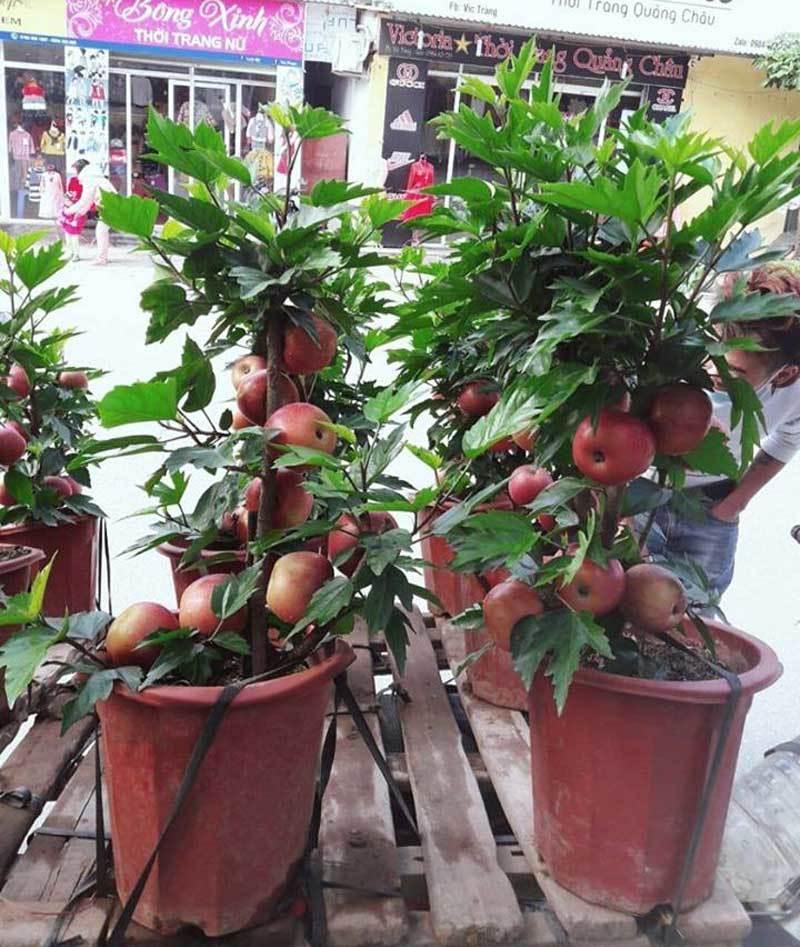 """""""Đắng lòng"""" khi mua phải táo bonsai gắn keo 502 trên thân cây mít, dâm bụt - Ảnh 1"""